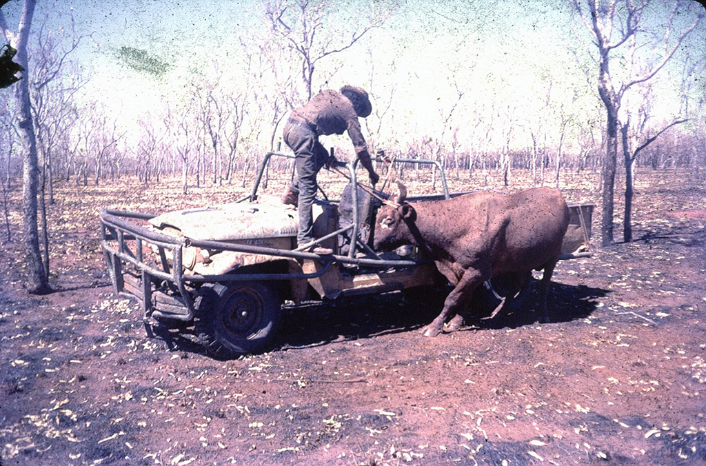 Photo of man catching bull from 1980s